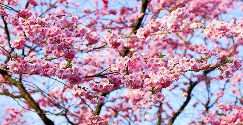 kirsikkapuu roosat kukat
