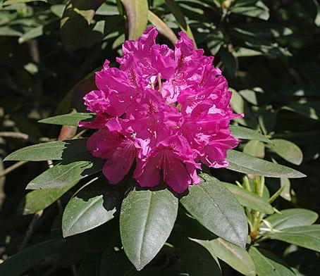 Alppiruusu kukka