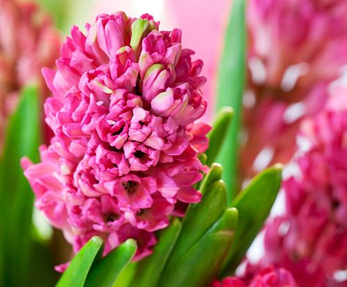 Hyasintin kukka