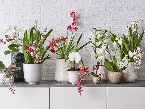 Omaperäinen orkidea